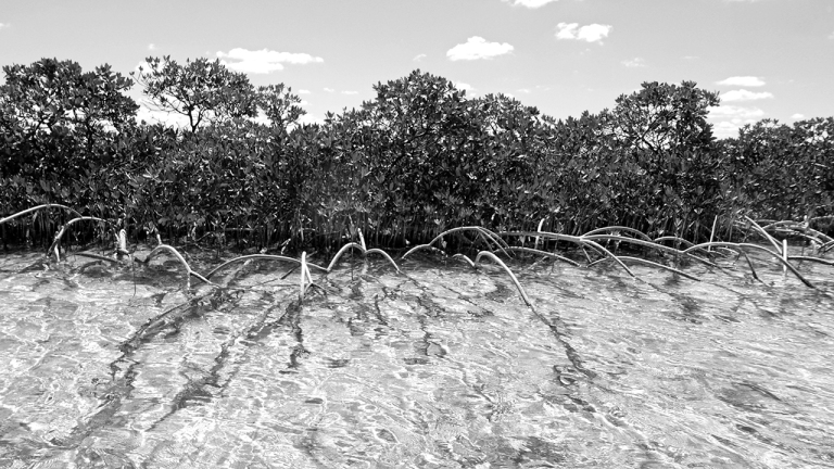 Shroud_mangroves BLOG